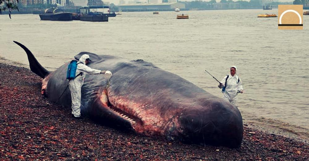 Nuevas medidas para proteger la ballena negra en el Atlántico Norte