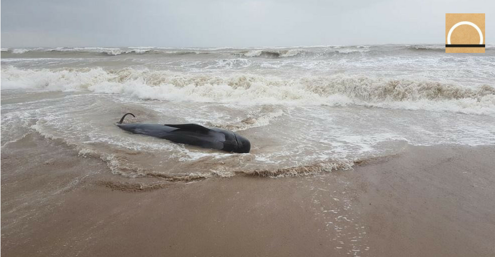 La sobrepesca en el Mediterráneo provoca encallamiento de cetáceos