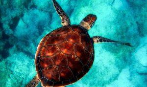 Las tortugas marinas aumentan sus posibilidades de morir al ingerir plástico