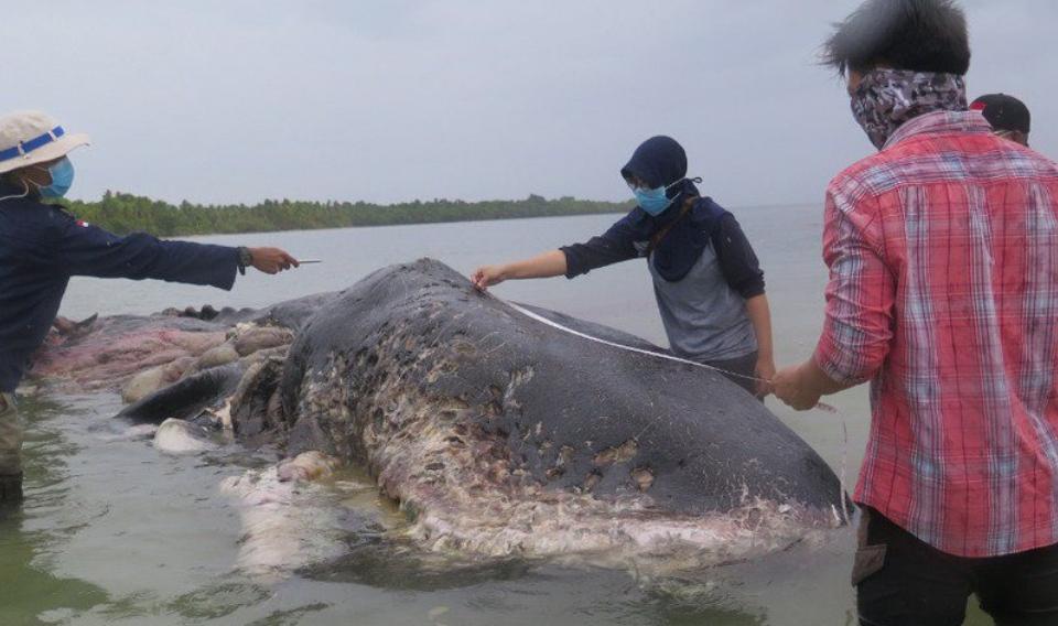 Encuentran un cachalote varado con 6 kilos de plástico en el estómago