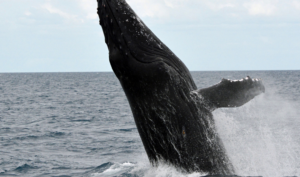 Japón volverá a cazar ballenas con fines comerciales