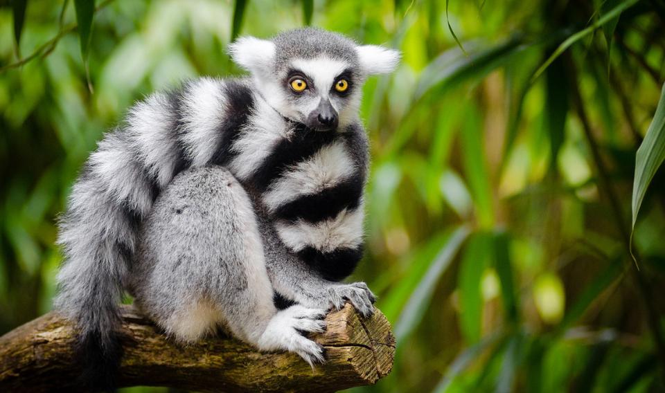 El impacto de los vídeos virales sobre especies amenazadas como los lemures