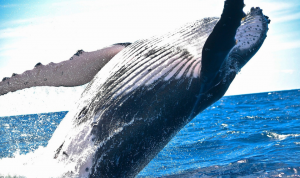 Japón vuelve a capturar ballenas con fines comerciales