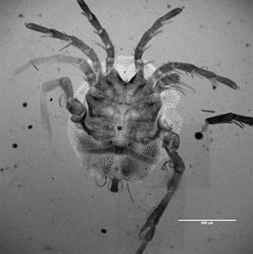 Descubren una nueva especie de ácaro acuático