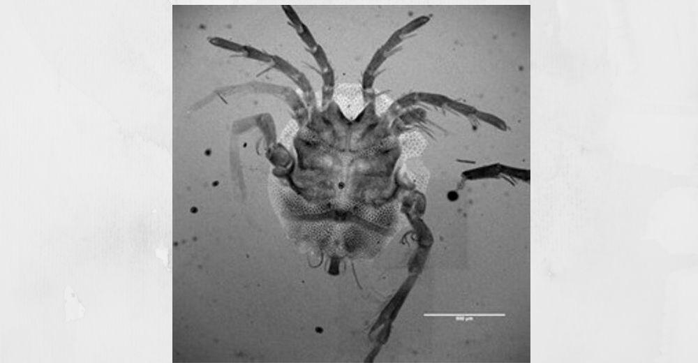 Descubren una nueva especie de ácaro acuático en el buche de un pato
