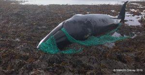 Una ballena embaraza muere enredada en una red de pesca abandonada