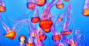 Las medusas podrían ser una fuente de energía renovable biosolar