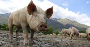 Hallan una fórmula para descontaminar agua utilizando pelo de cerdo