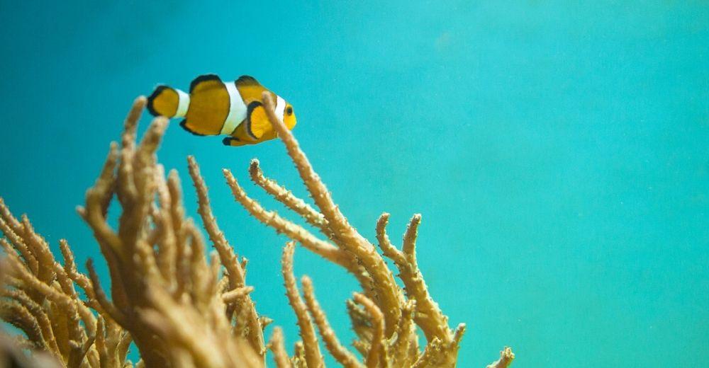Amenazada la existencia del pez payaso