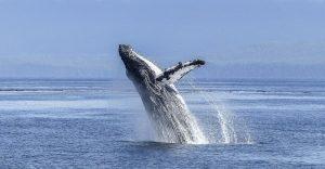 Las ballenas luchan contra el cambio climático