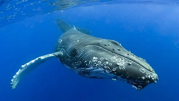 Avistada en aguas canarias una cría de ballena franca extinta en el Atlántico